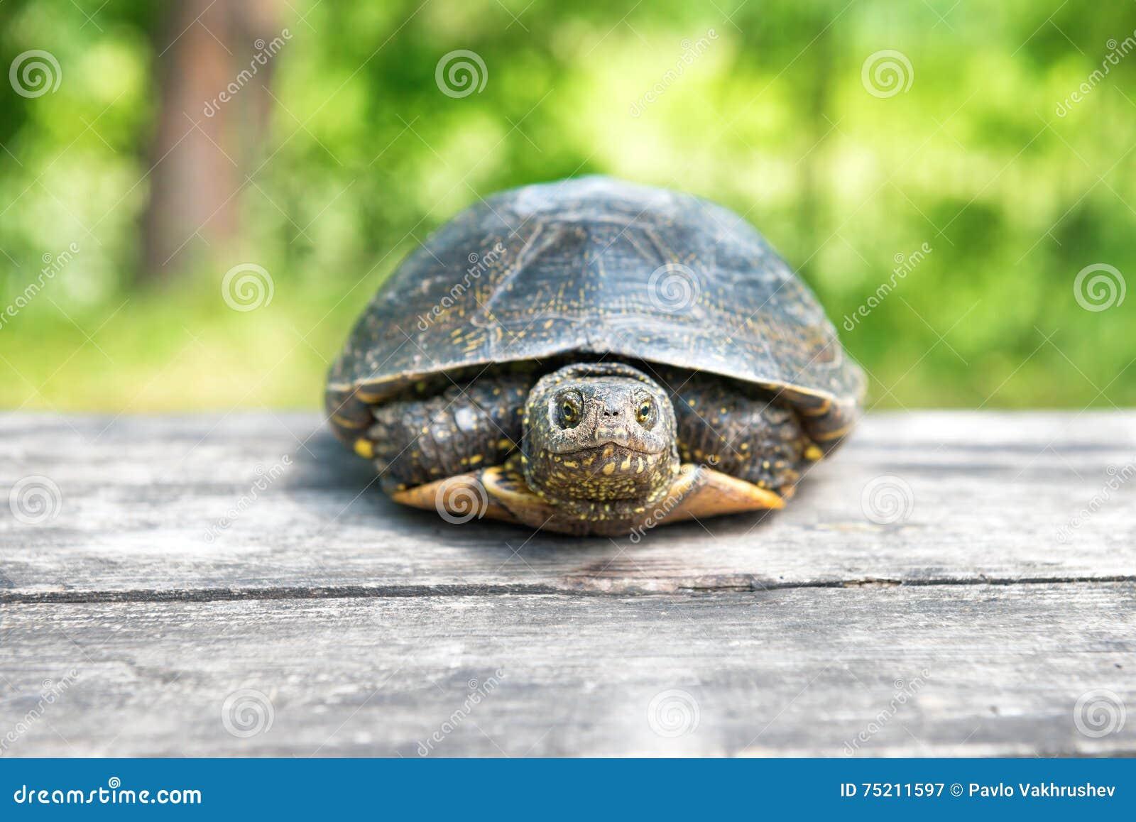 Grande tortue sur le vieux bureau en bois image stock image du