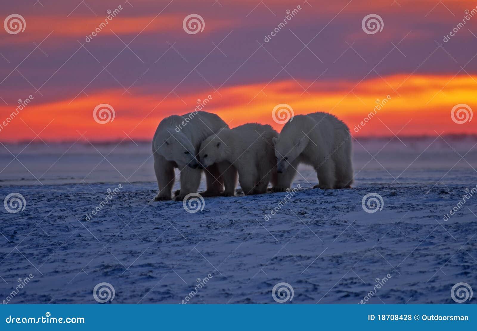 Grande urso polar masculino