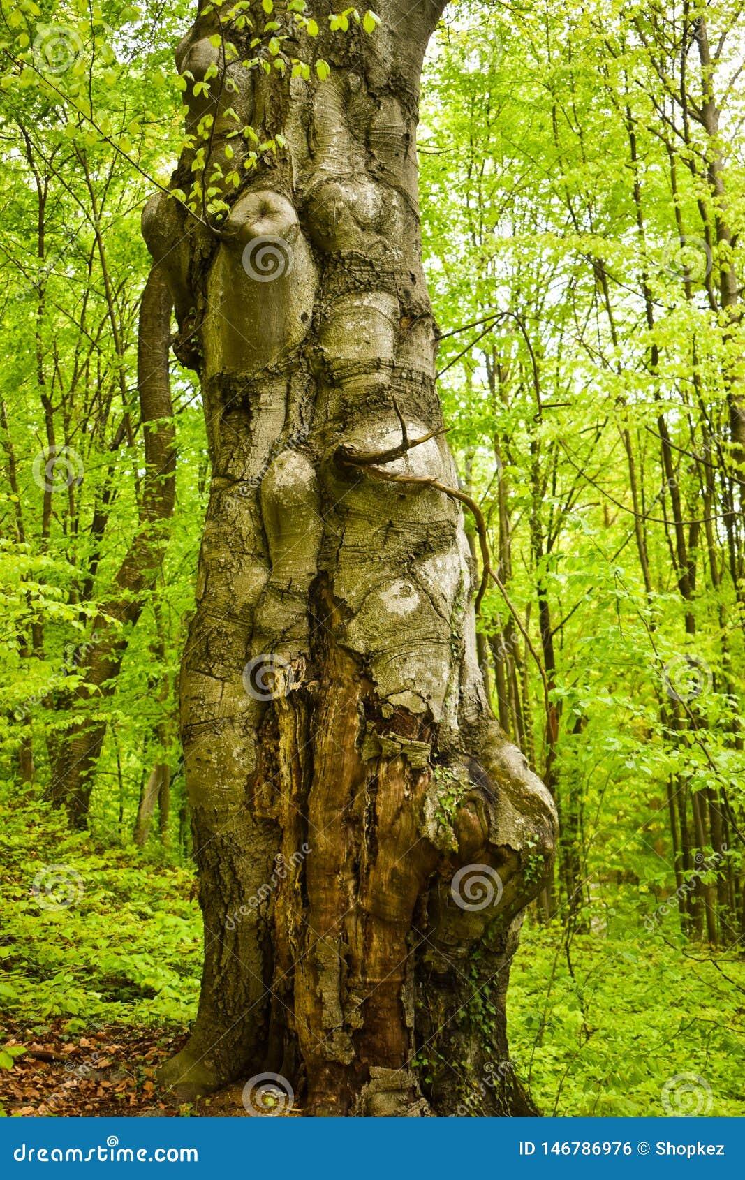 Grande vecchio e tronco torto nella foresta verde in un giorno di molla