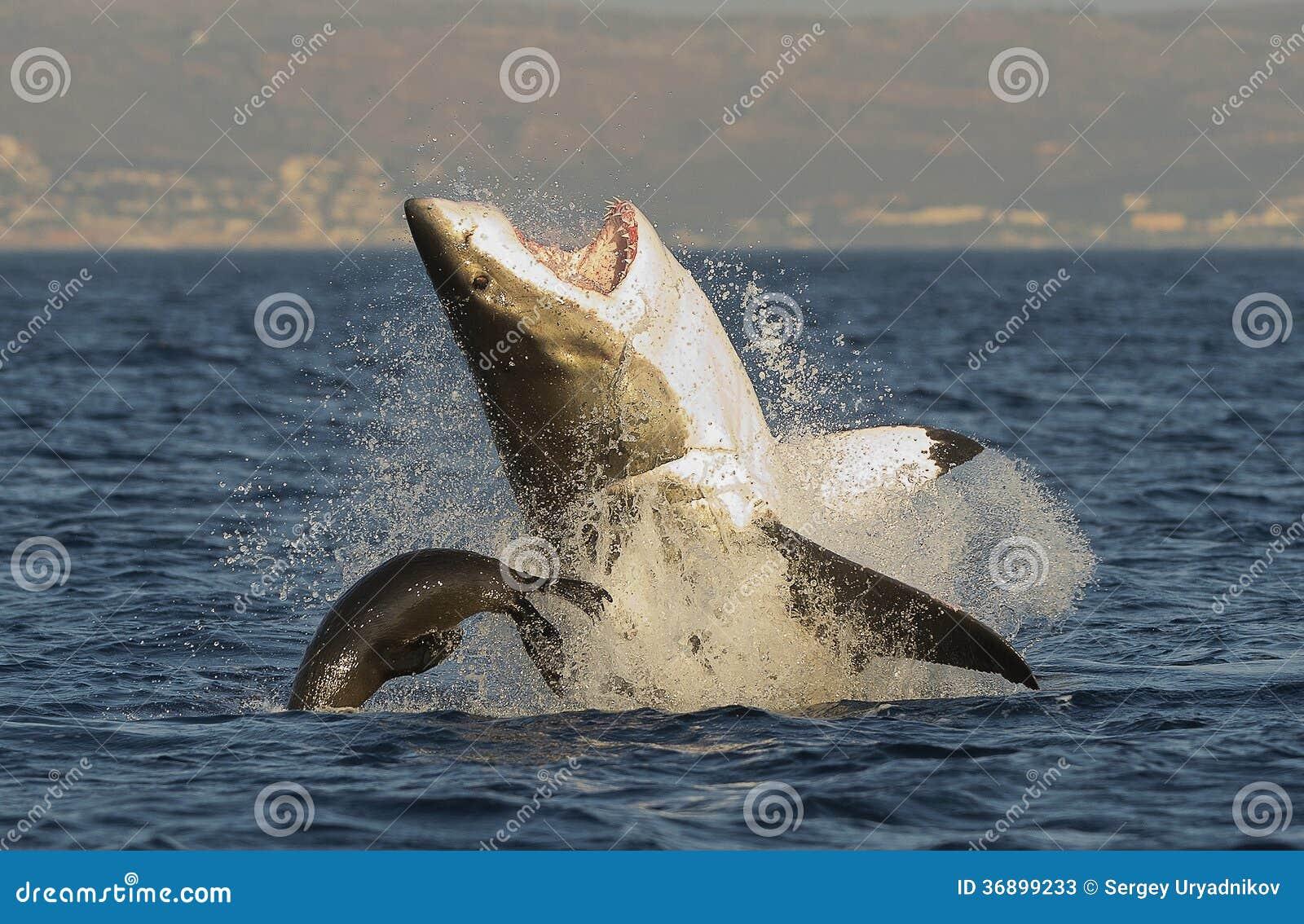 Grande violation de requin blanc