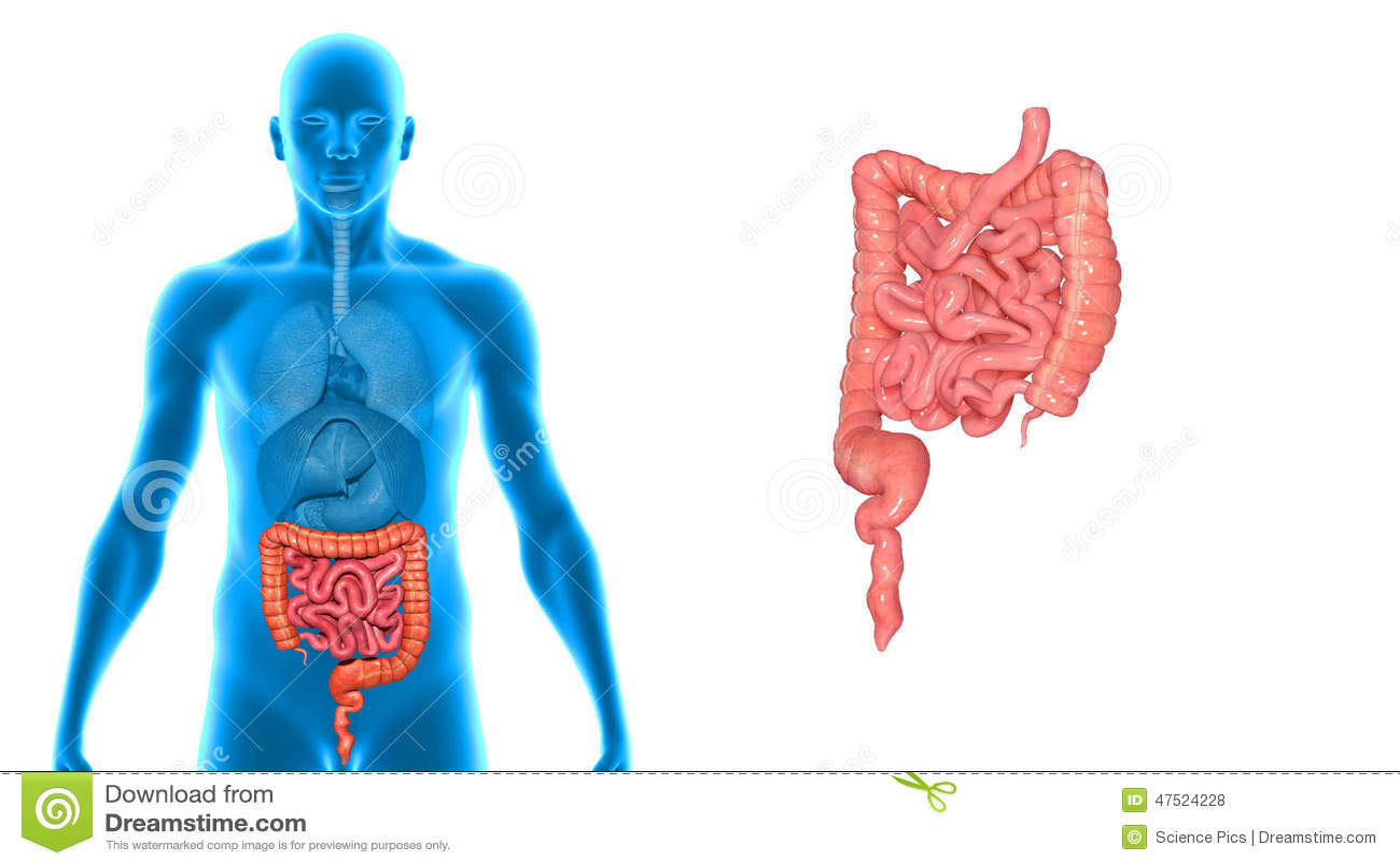 Grande y intestino delgado metrajes. Ilustración de anatomía - 47532412