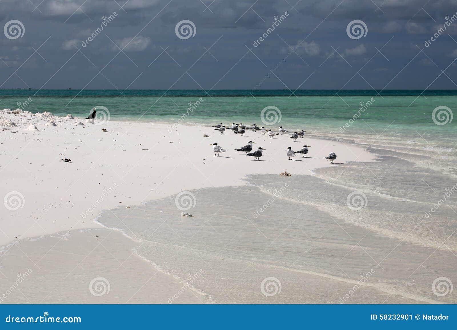 Grandes andorinhas-do-mar com crista na ilhota do tabu de Motu