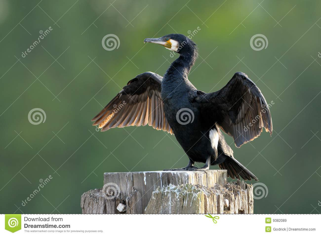 Grandes asas de secagem do Cormorant (carbo do Phalacrocorax)