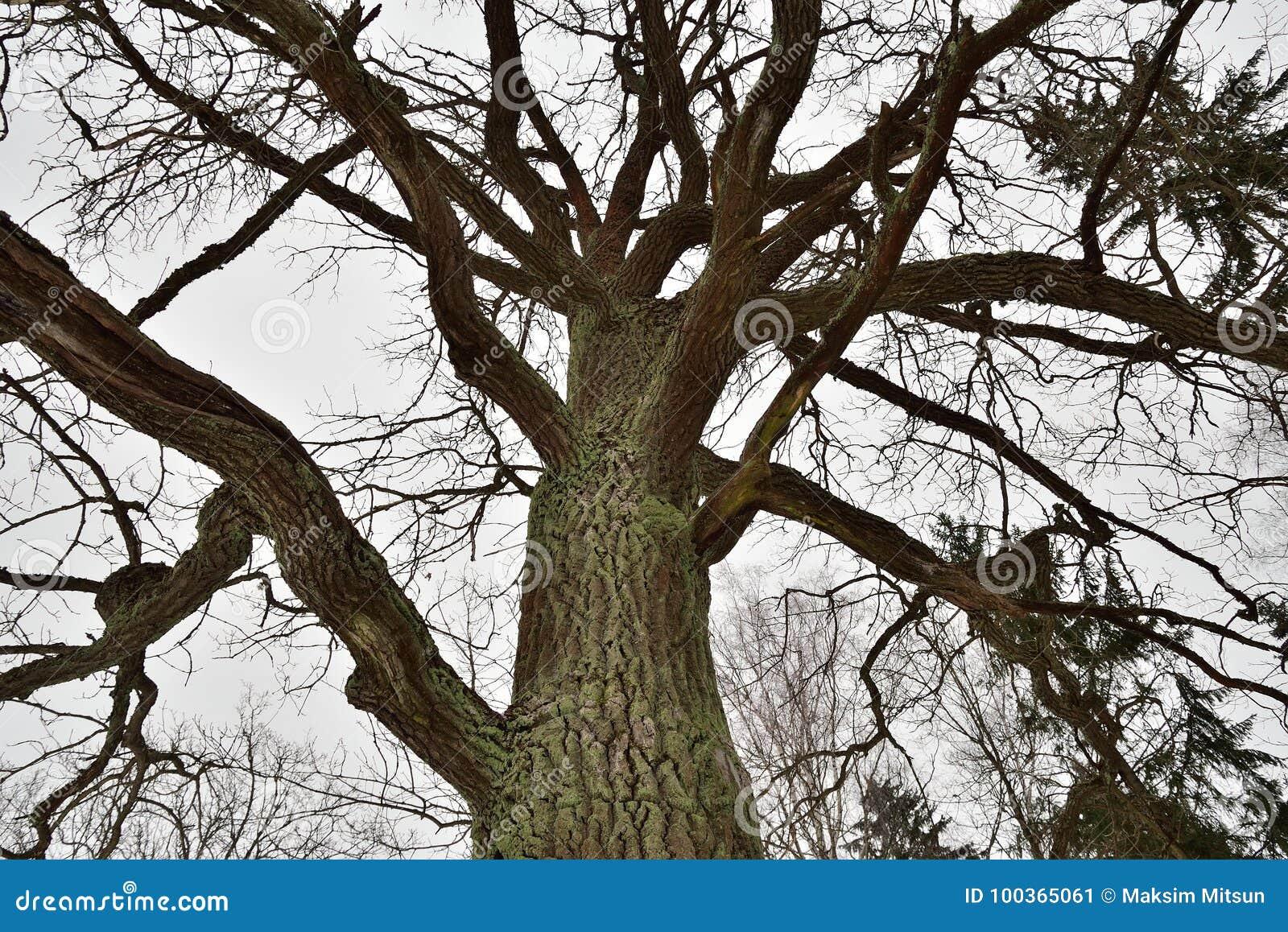 Grandes branches d 39 arbre moussues sans feuilles en hiver - Arbres sans feuilles ...