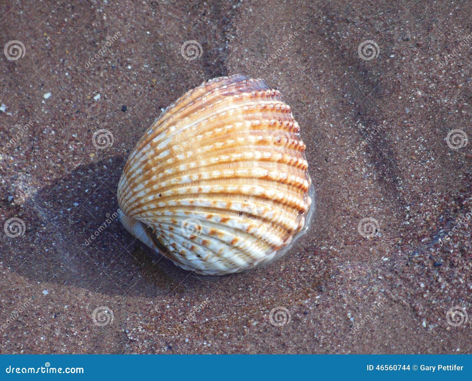 Grandes coquilles de mer de coquille de coque sur le sable
