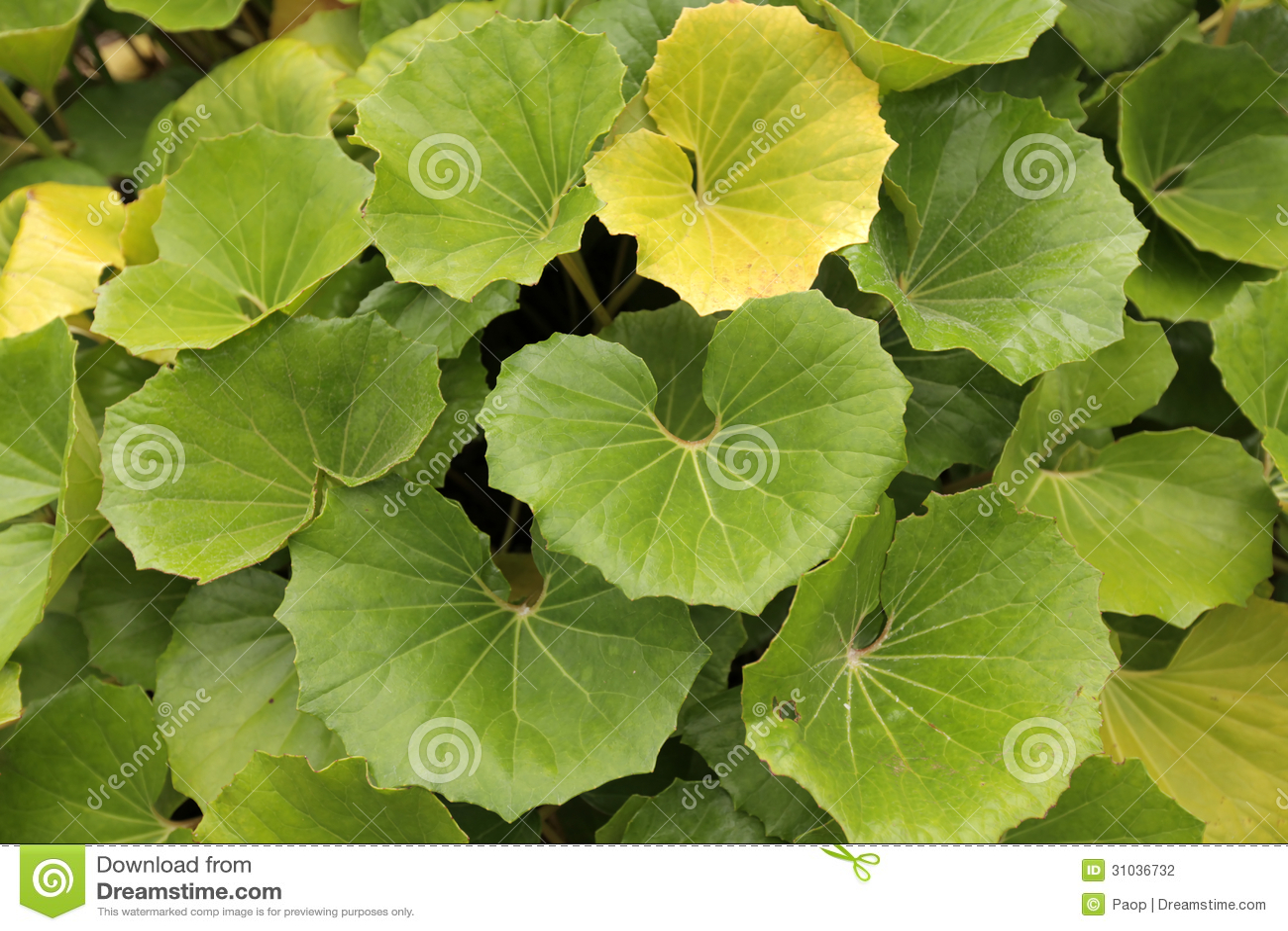 Grandes feuilles de vert photographie stock image 31036732 for Plante 7 feuilles