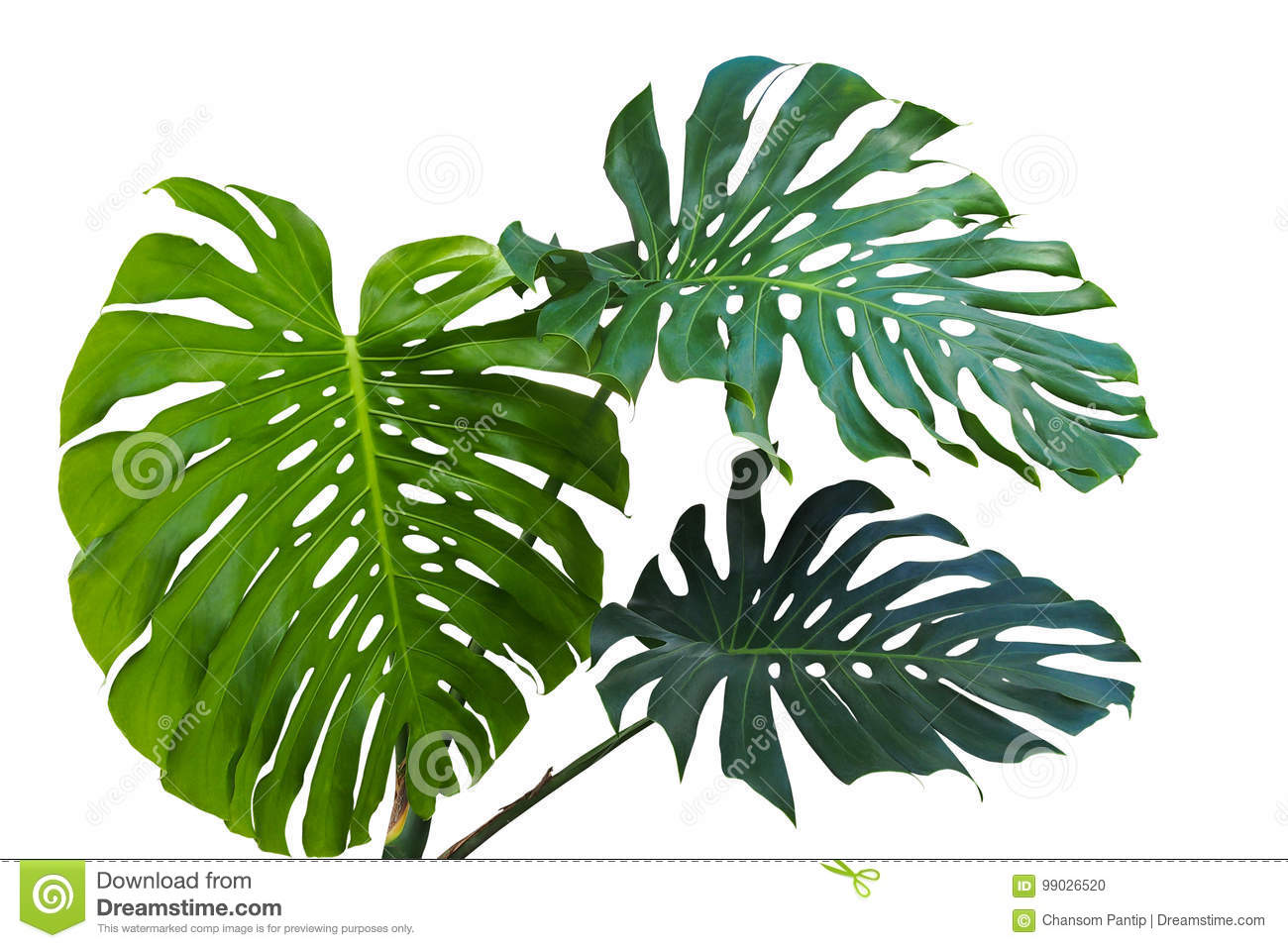grandes feuilles vertes de philodendron monst de monstera ou de fente feuille photo stock. Black Bedroom Furniture Sets. Home Design Ideas