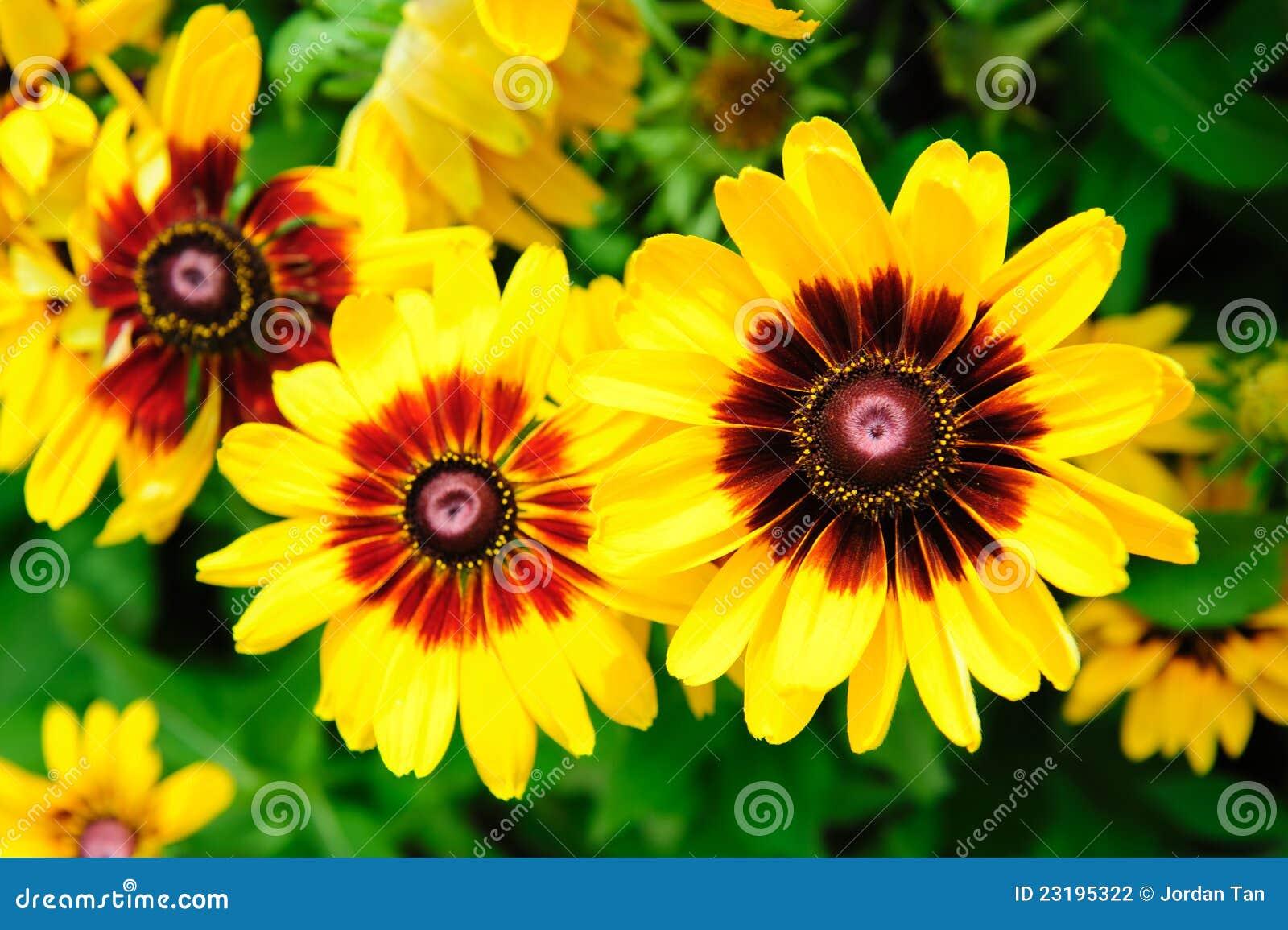 Grandes fleurs jaunes vibrantes dans un jardin