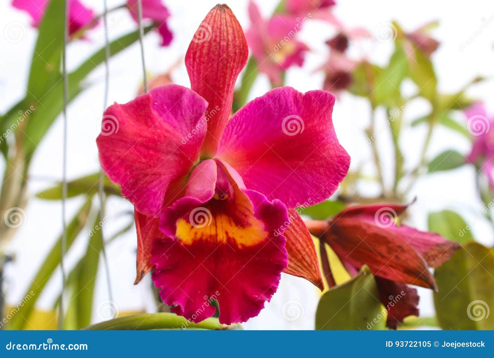 Grandes Fleurs Rouges D Orchidee Avec La Feuille Verte Image Stock