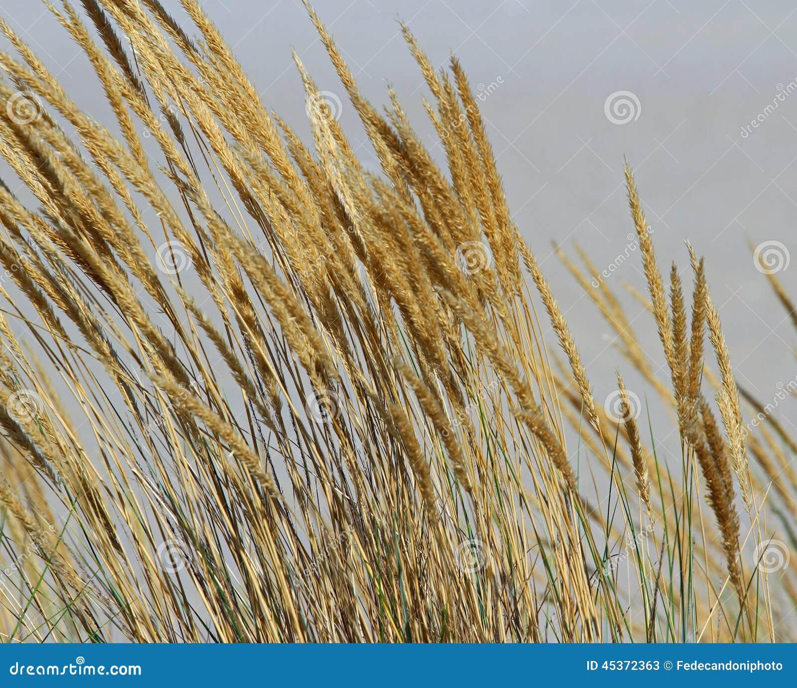 Grandes oreilles d or de blé au milieu du champ