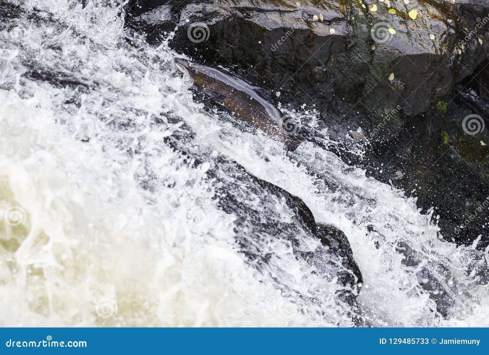 Grandes salmões atlânticos que pulam acima da cachoeira em seu migr da maneira