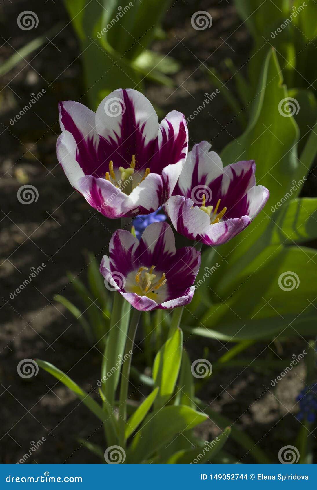 Grandes tulipes marron avec les rayures blanches ?troitement