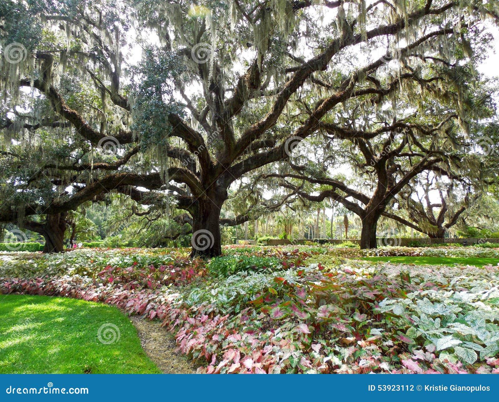 Grandi Alberi Da Giardini grandi alberi di leccio che spargono i rami sopra il