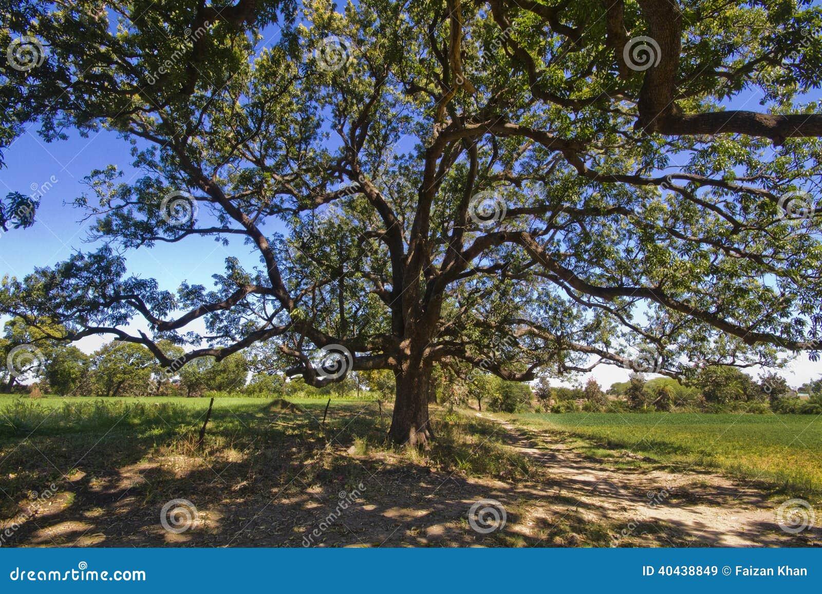 Grandi alberi di mango densi in aziende agricole immagine - Grandi alberi da giardino ...