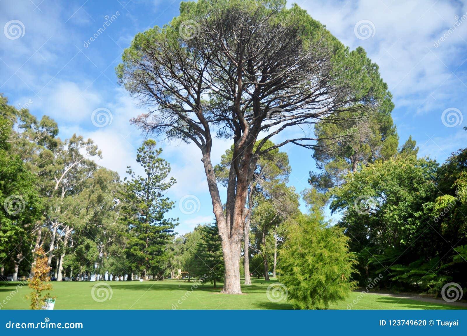 Grandi Alberi Da Giardini grandi alberi in giardino di re park e giardino botanico a