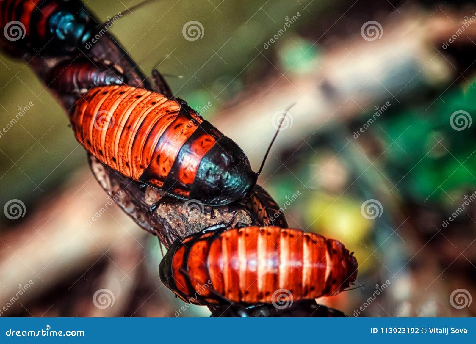 Grandi blatte marrone-rosso del Madagascar