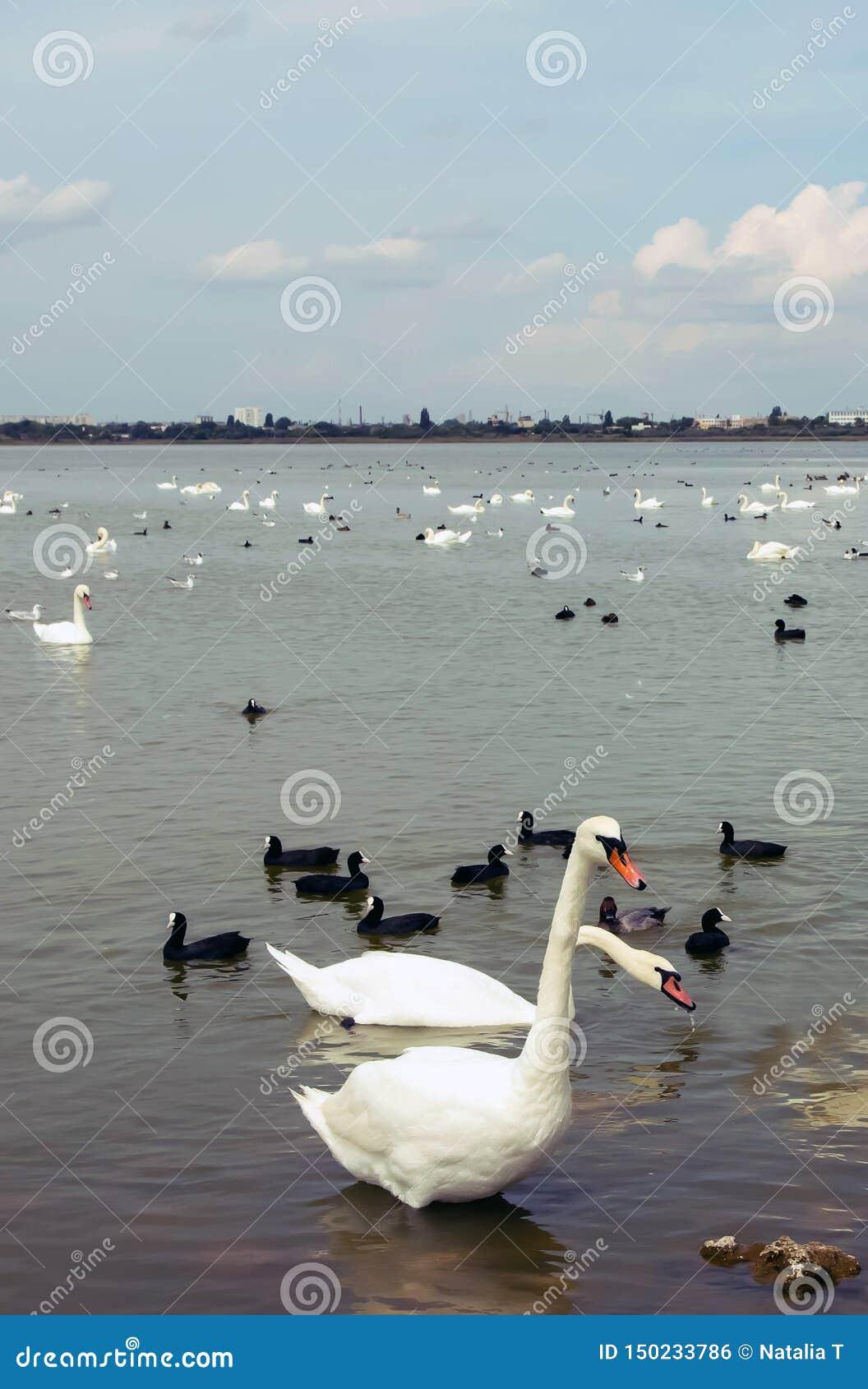 Grandi cigni bianchi sull acqua, con i piccoli cigni neri
