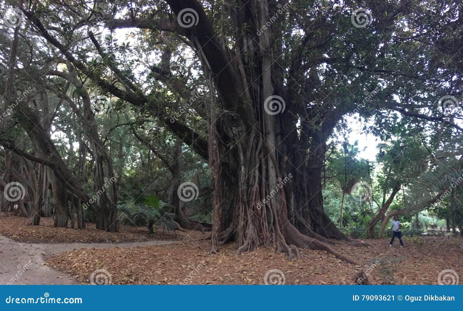 Grandi Alberi Da Giardini grandi e vecchi alberi in giardino botanico di hamma a