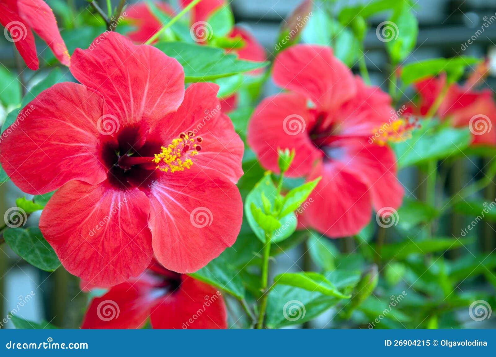 Fiori Grandi.Grandi Fiori Rossi Dell Ibisco Immagine Stock Immagine Di Rose