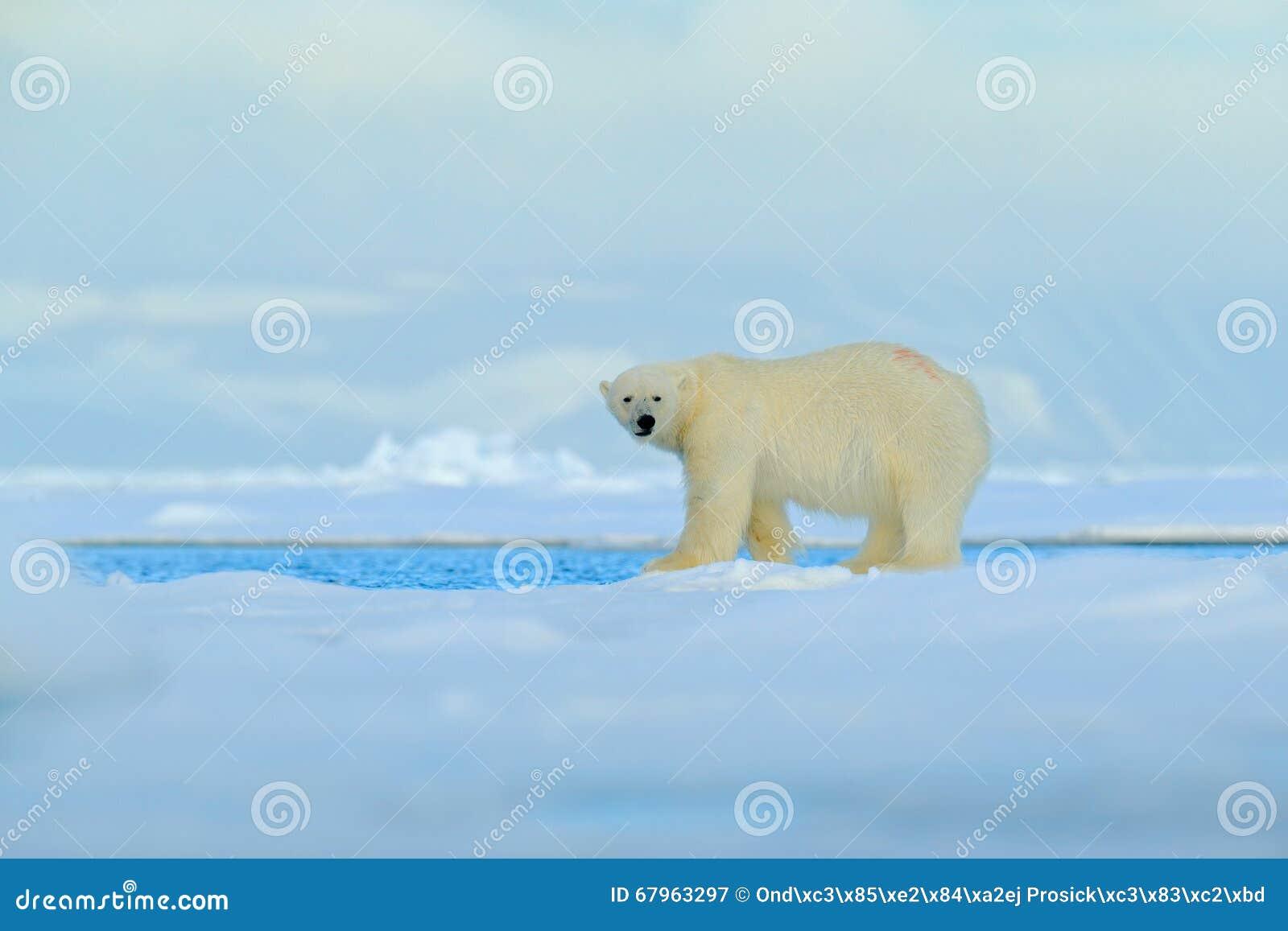 Grandi polari riguardano il bordo del ghiaccio galleggiante con neve un acqua nelle Svalbard artiche, il grande animale bianco ne