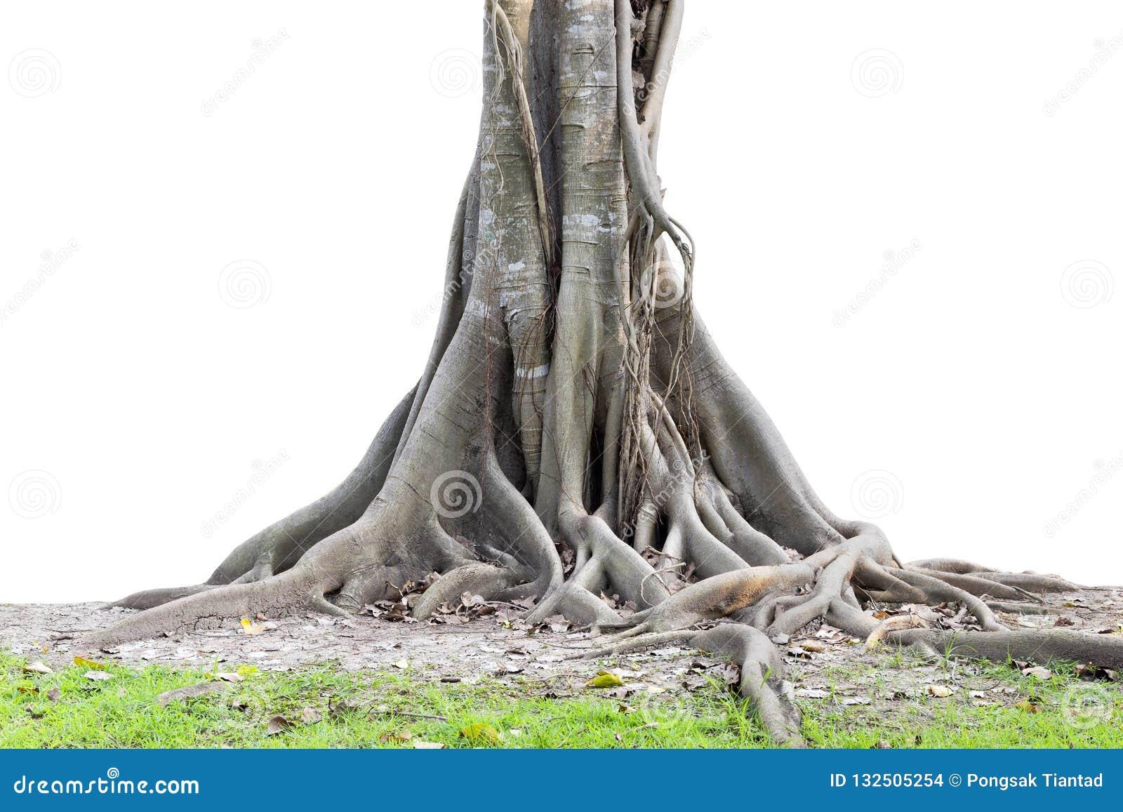 Grandi radici dell albero che spargono fuori bello e tronco isolato sul whi