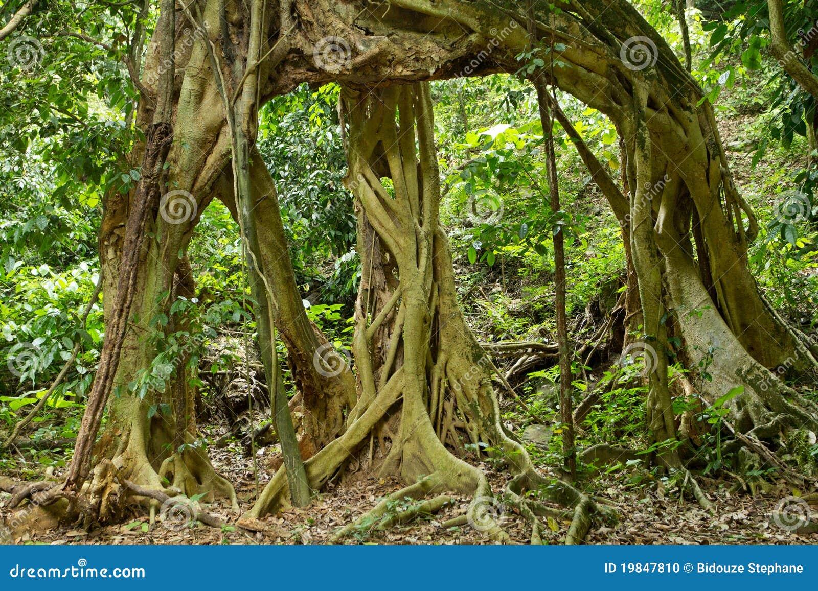 Grandi radici dell 39 albero di fico fotografia stock for Albero fico prezzo