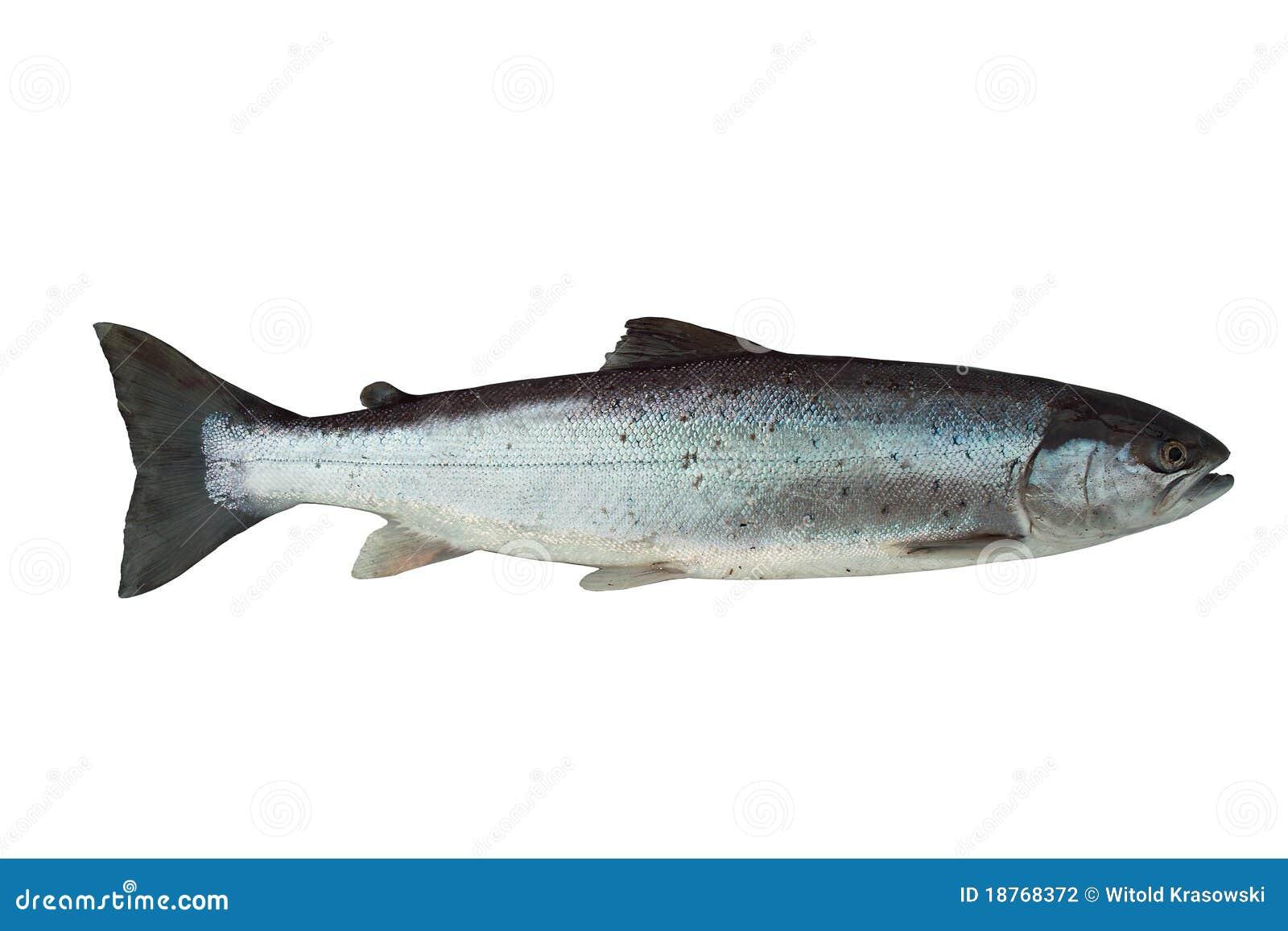 Grandi salmoni