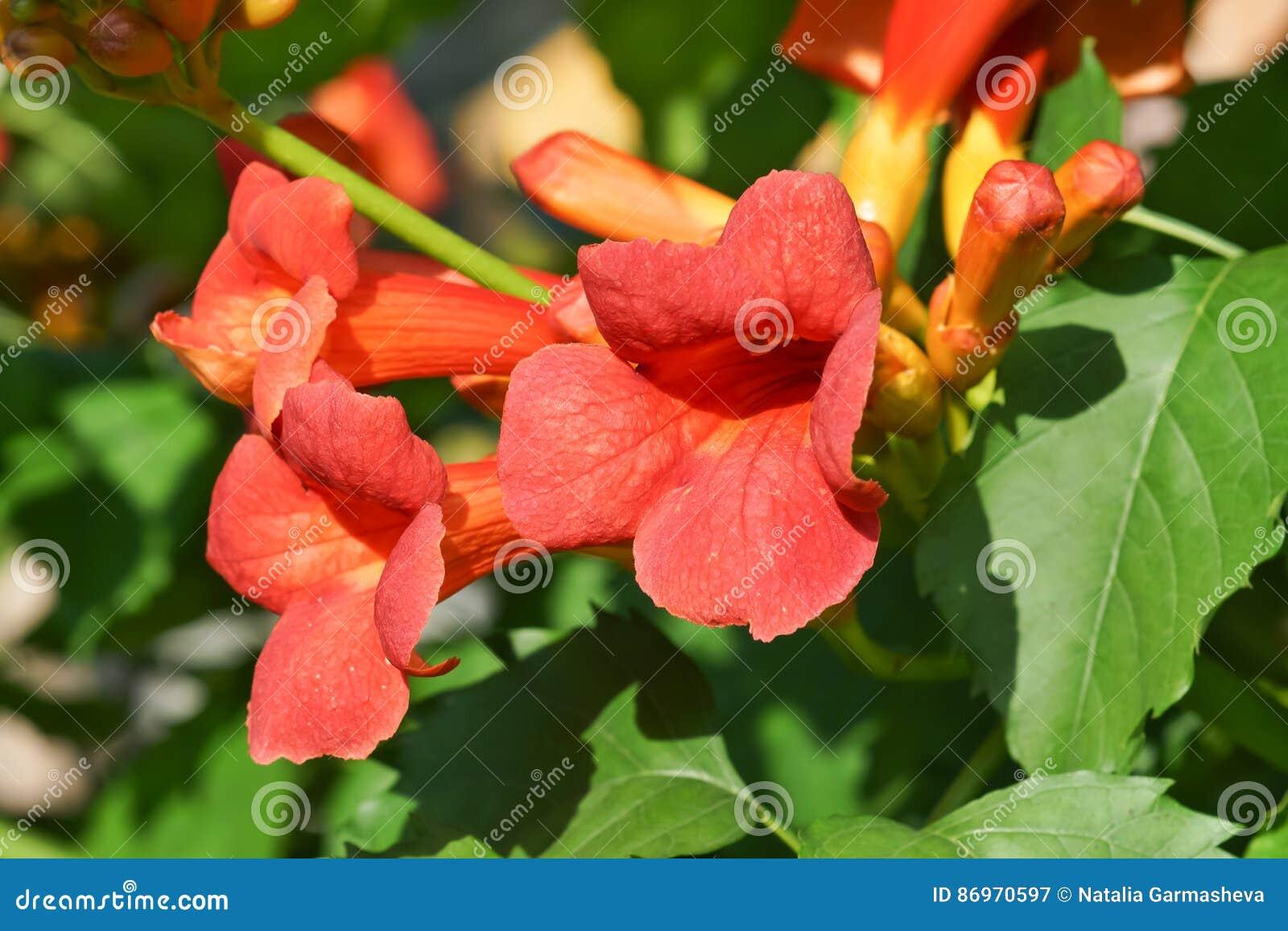Grandiflora Campsis eller grandiflora kines eller Bignonia
