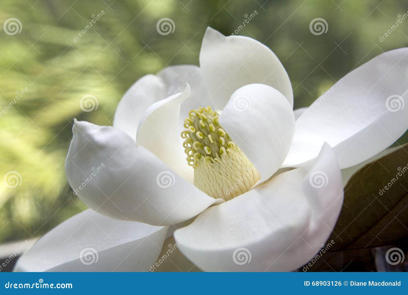 Grandiflora magnolia