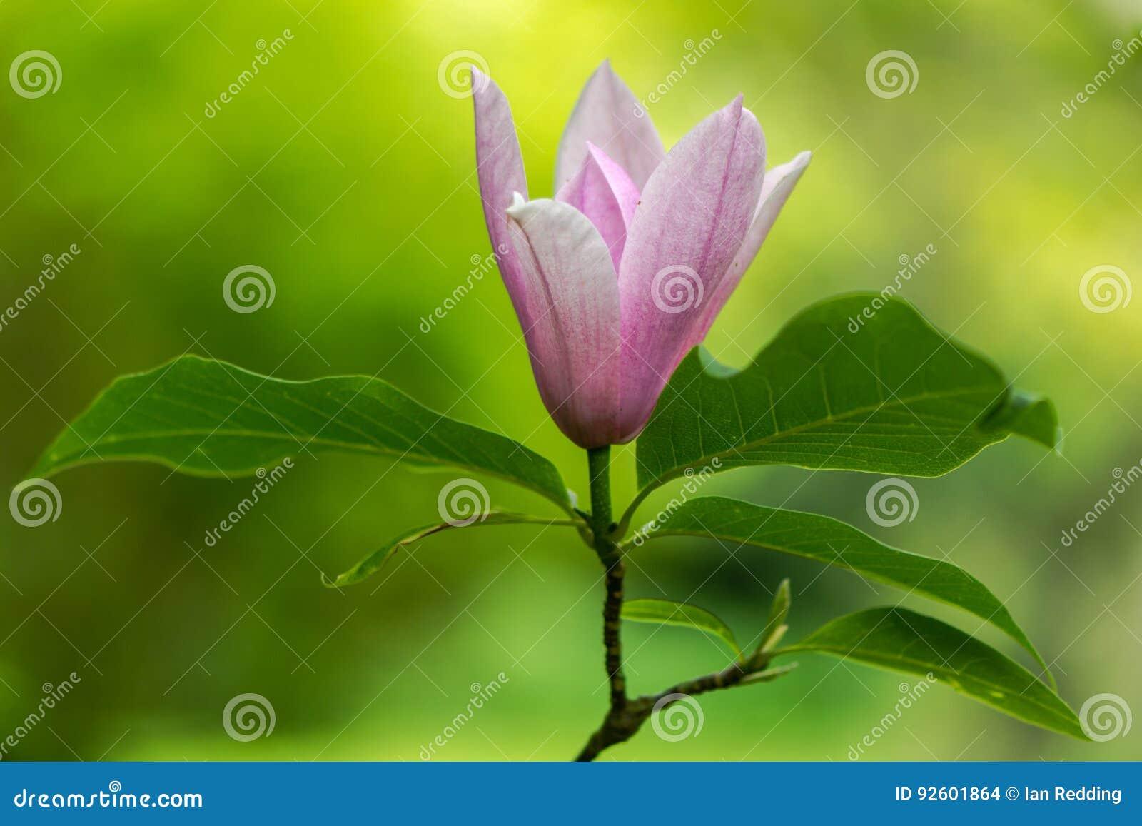 Grandiflora magnolia & x27; Hemel scent& x27; bloemen