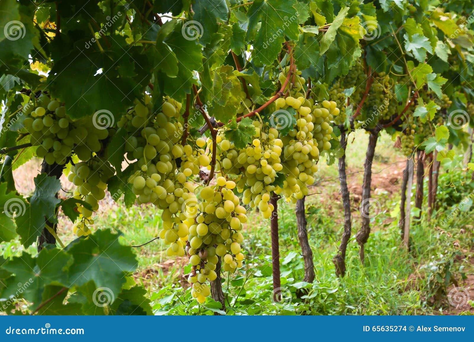 Grands groupes mûrs de raisins verts sur la vigne