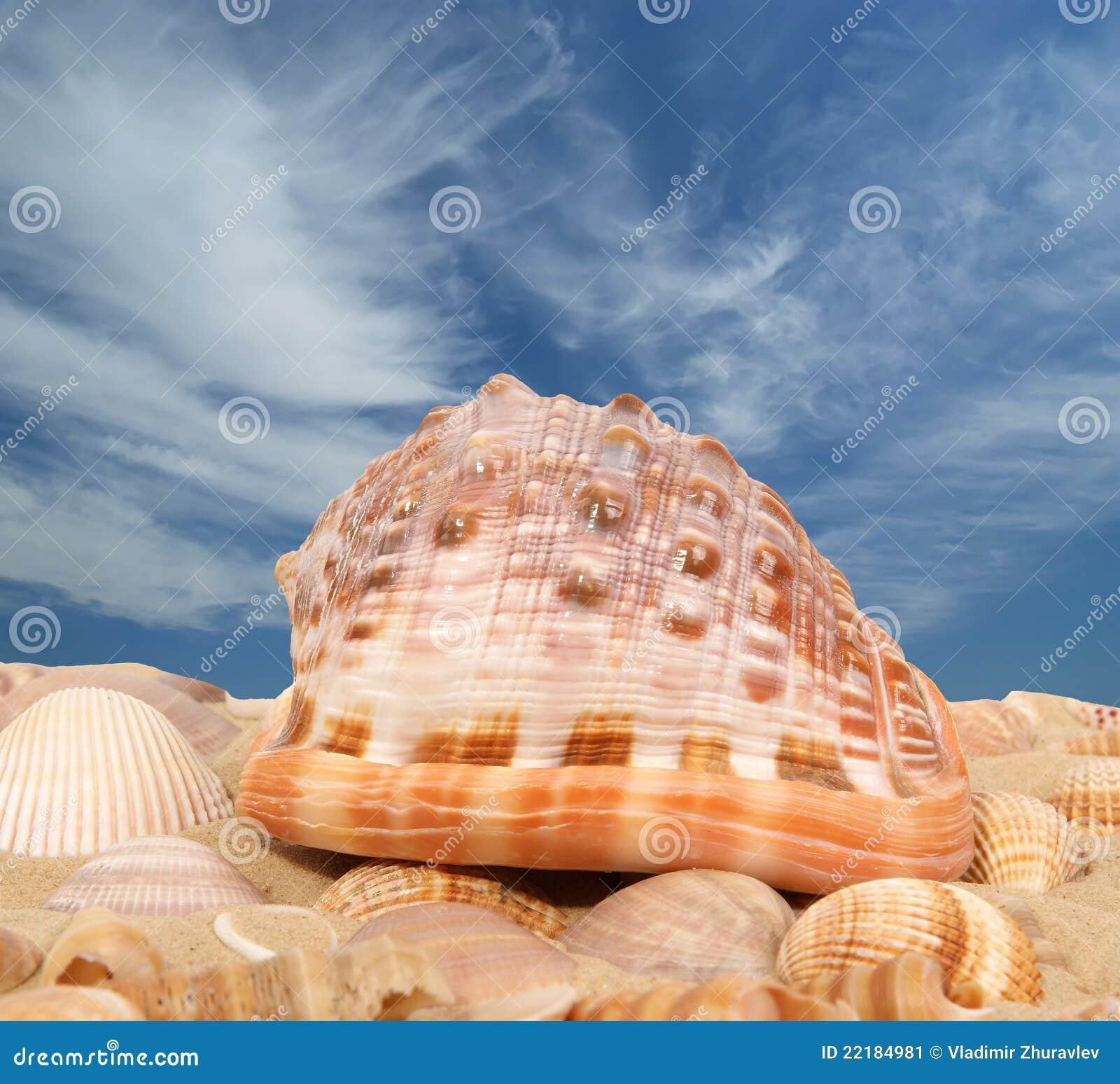 Grands seashells