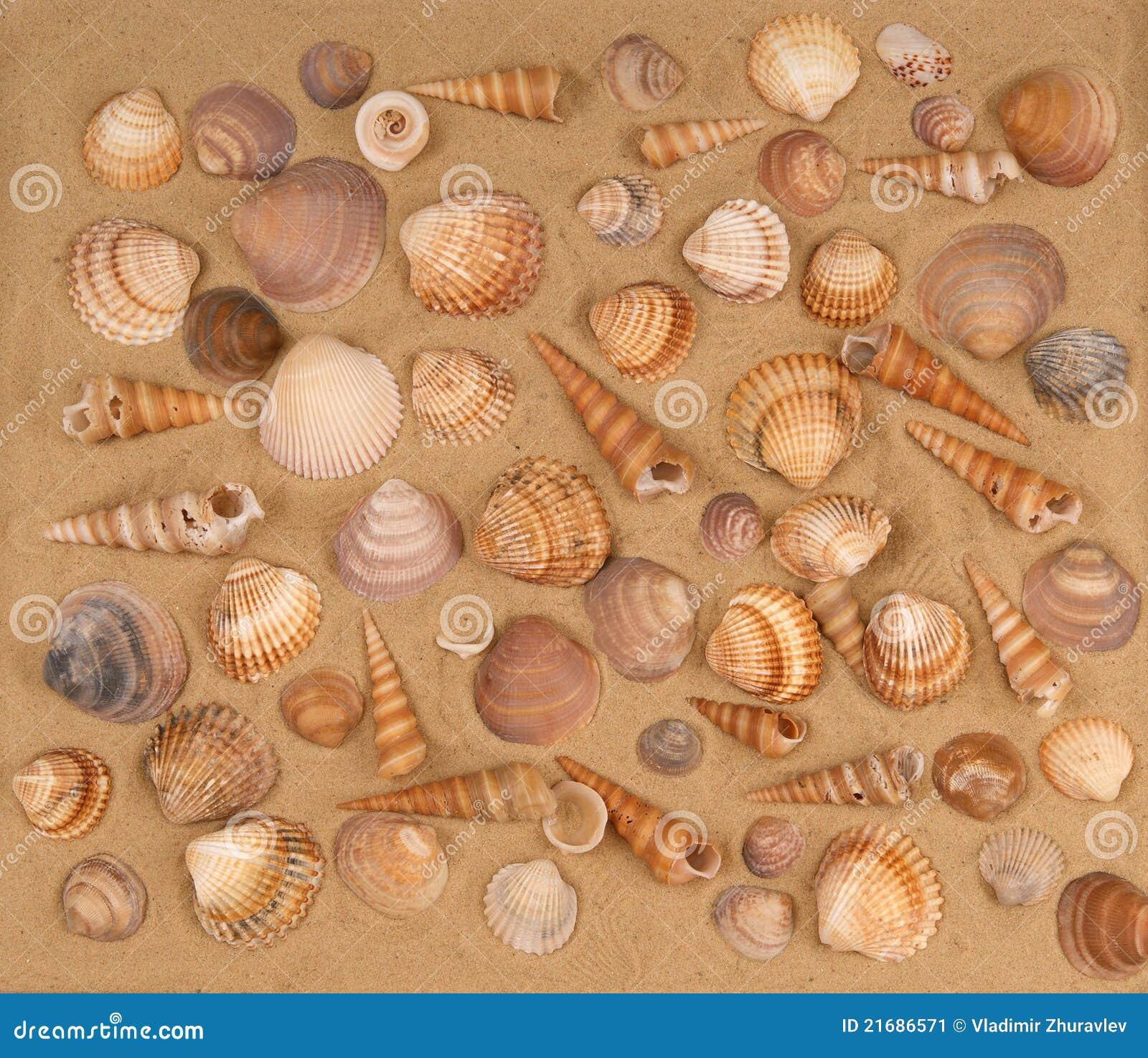 Grands seashells sur le sable