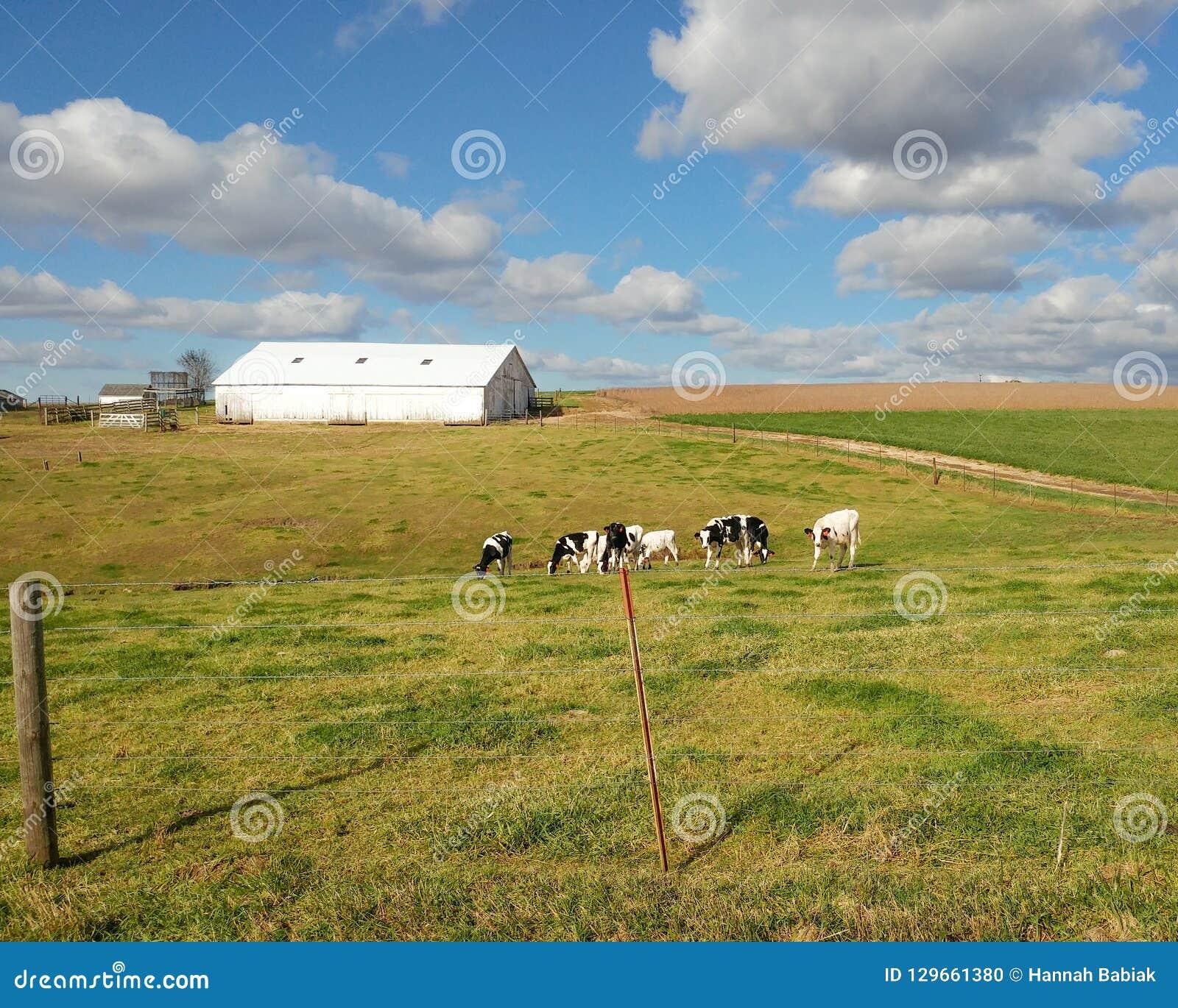 Granero blanco con las vacas lecheras en el pasto