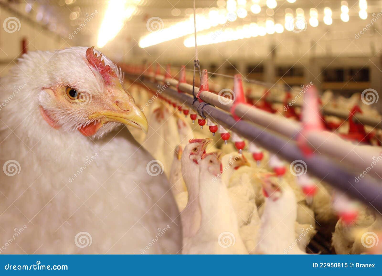 Granja de pollo