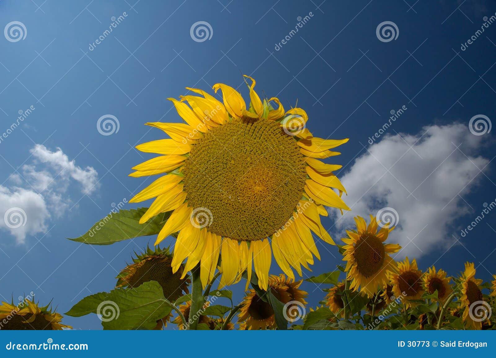 Download Granja I del girasol imagen de archivo. Imagen de solo, campo - 30773