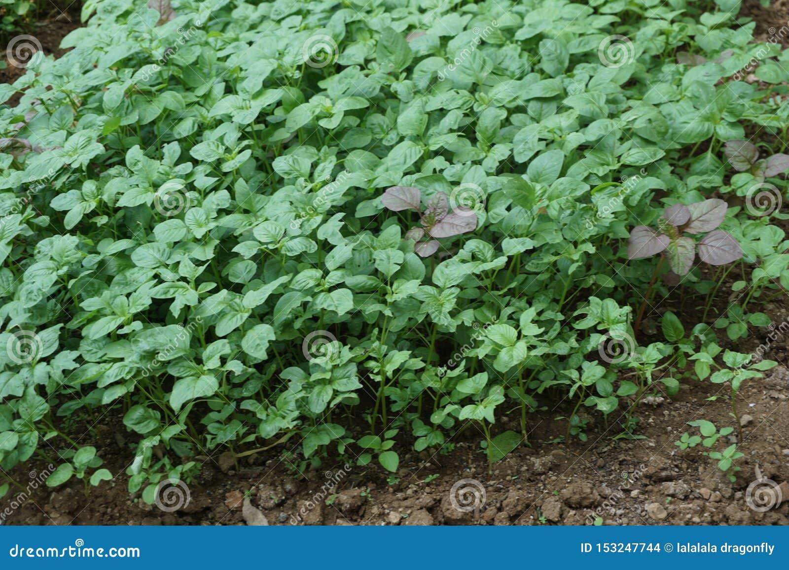 Granja tradicional del jardín de la espinaca en el pueblo de Javenese