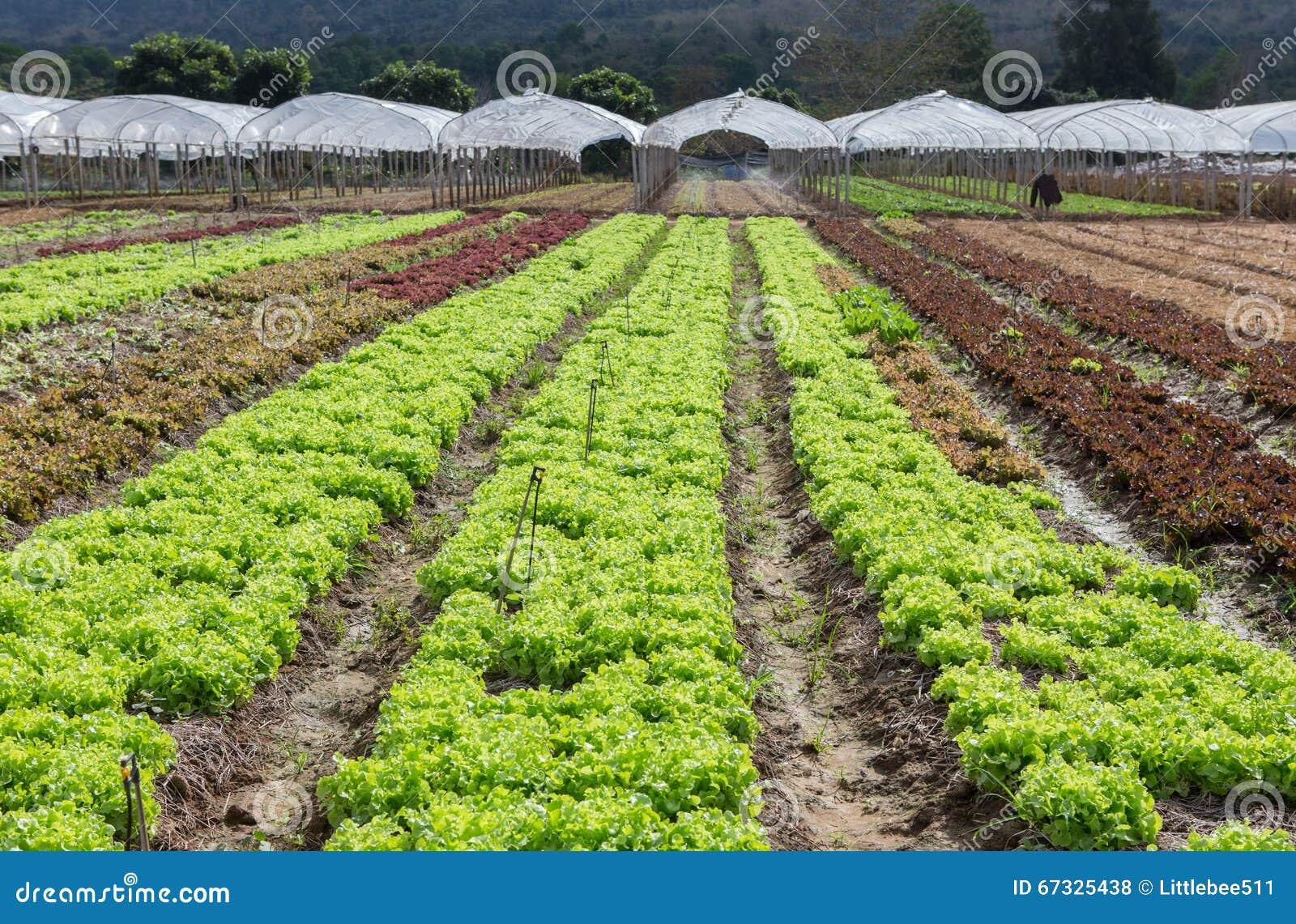 Granja vegatable orgánica del roble verde y del roble rojo en Tailandia