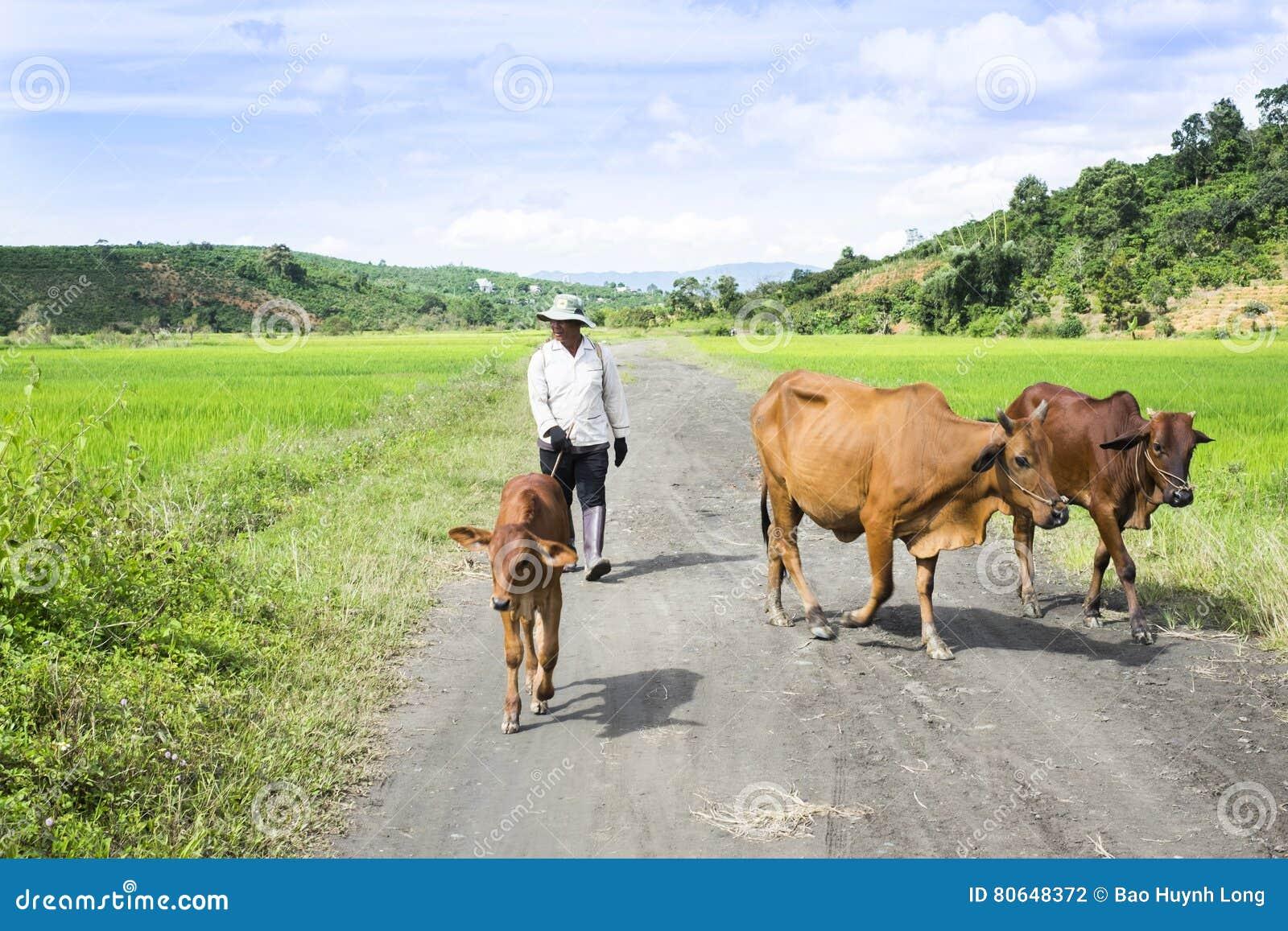 Granjero con sus vacas camino de casa