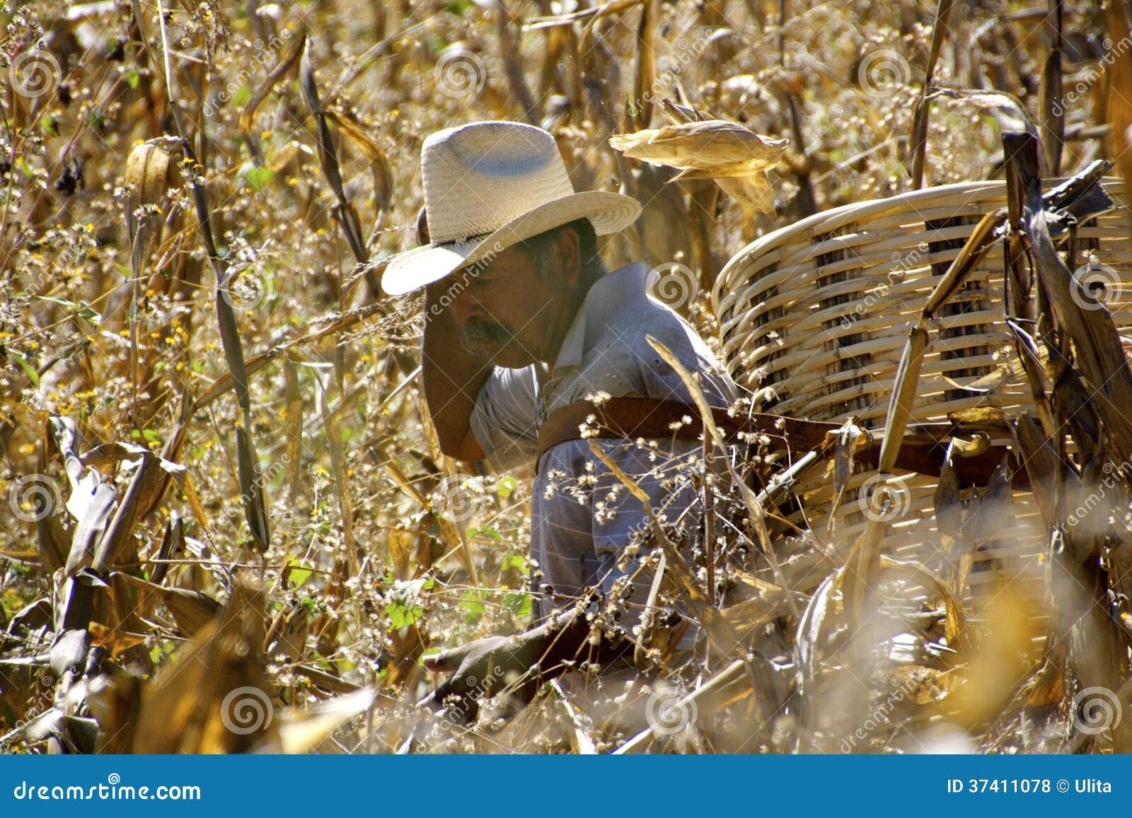 Granjero mexicano en campo de maíz