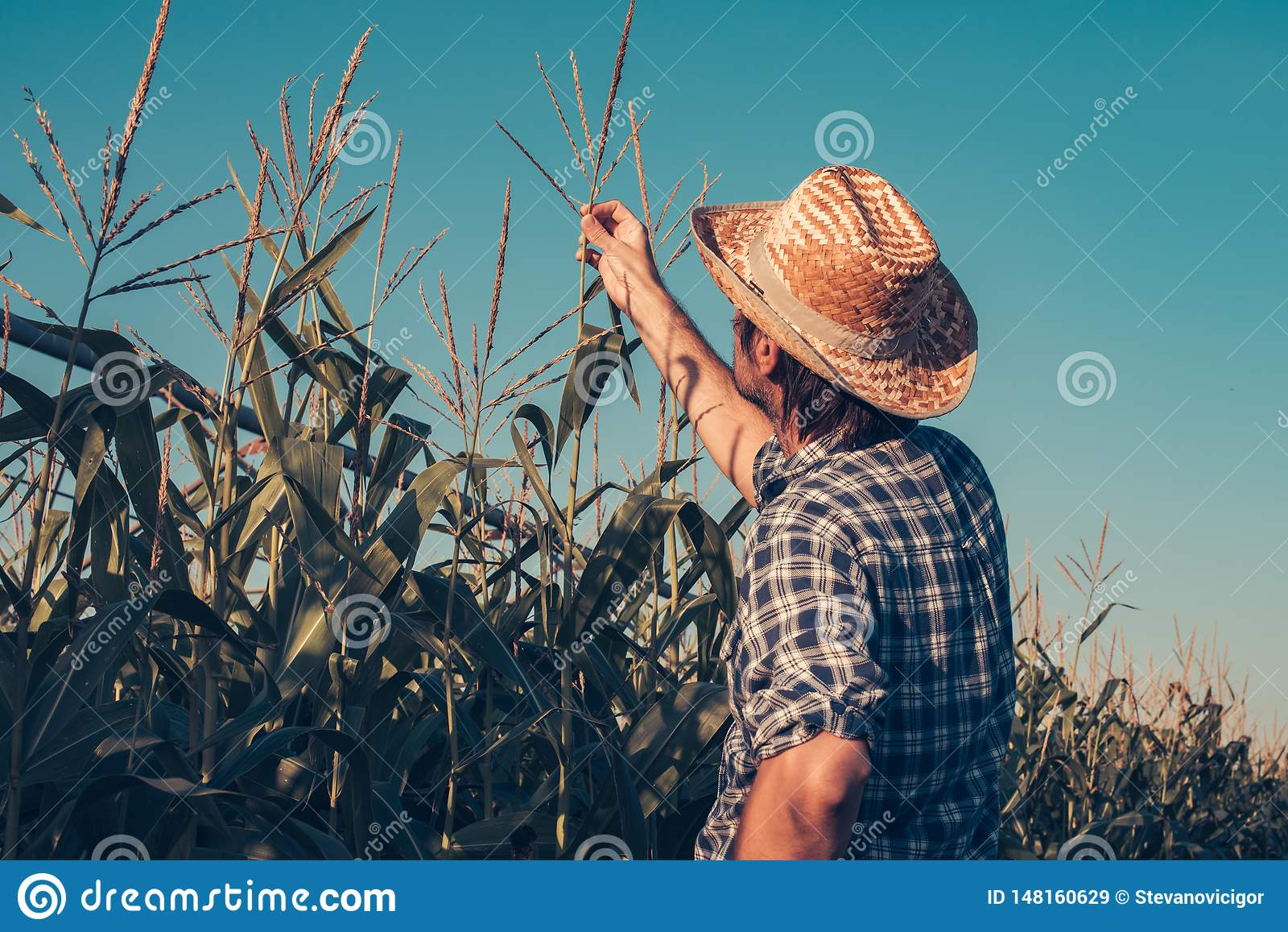 Granjero que examina la borla del maíz