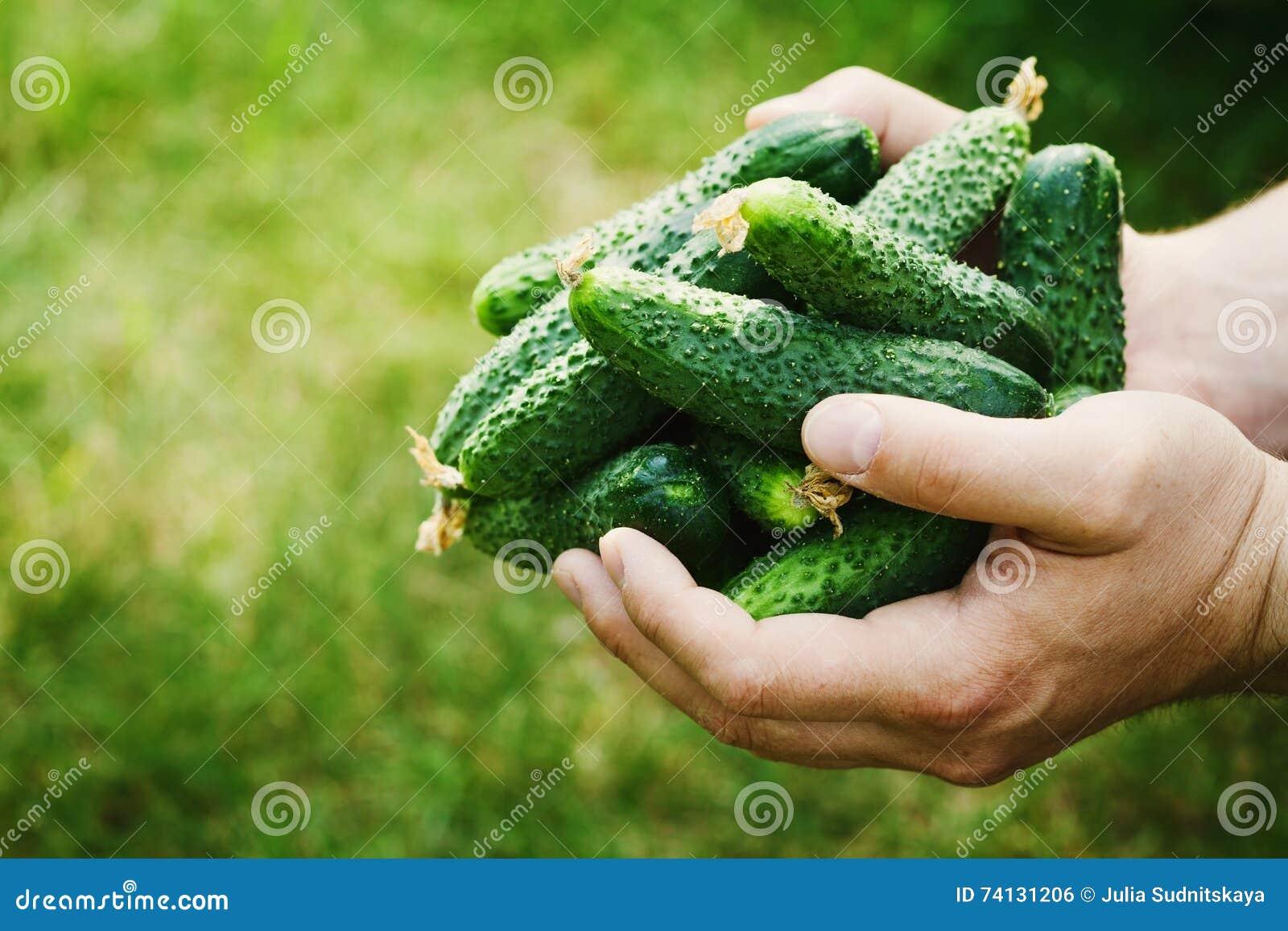 Granjero que lleva a cabo en manos la cosecha de pepinos verdes en el jardín Verduras naturales y orgánicas farming
