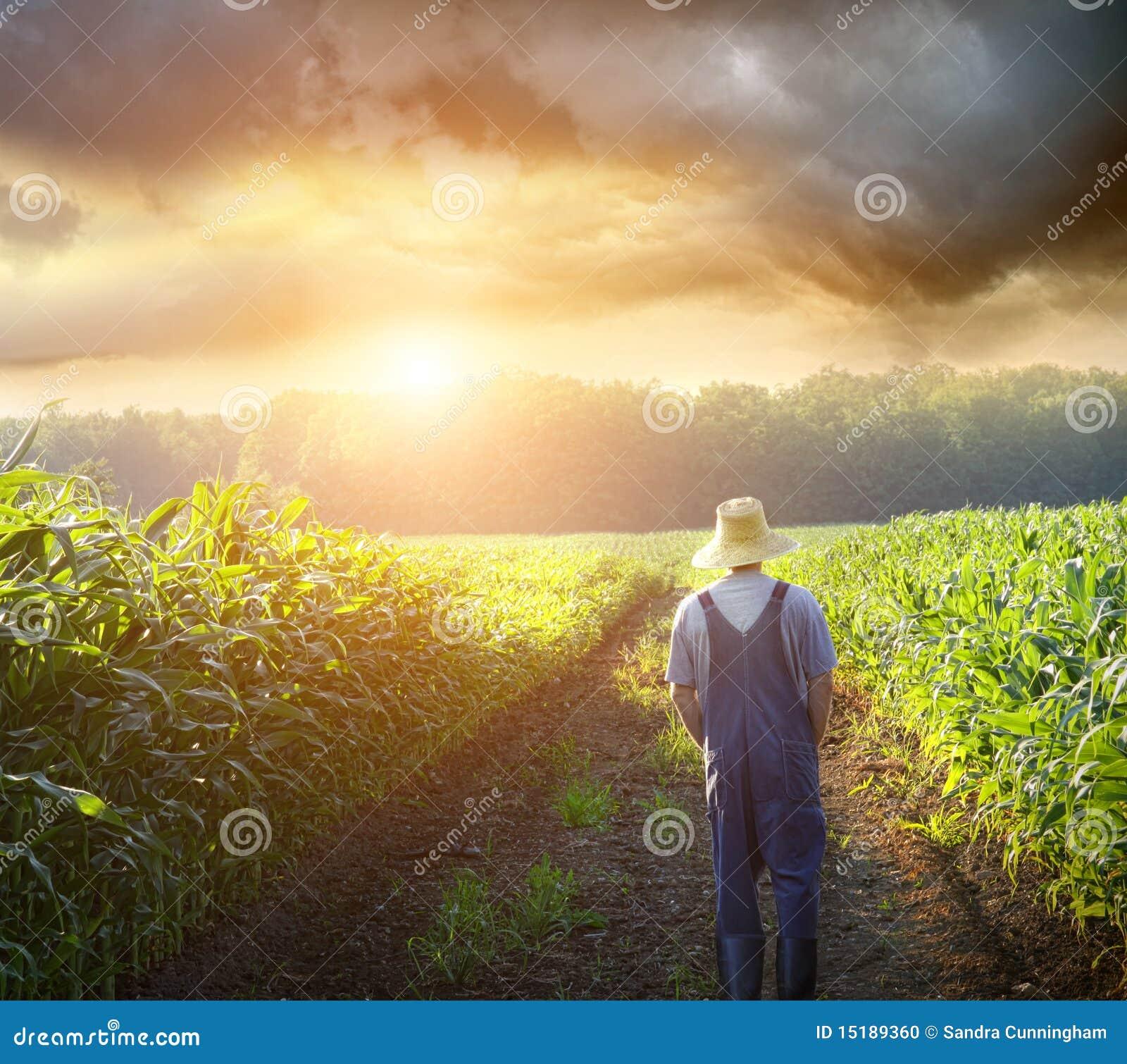 Granjero que recorre en campos de maíz en la puesta del sol