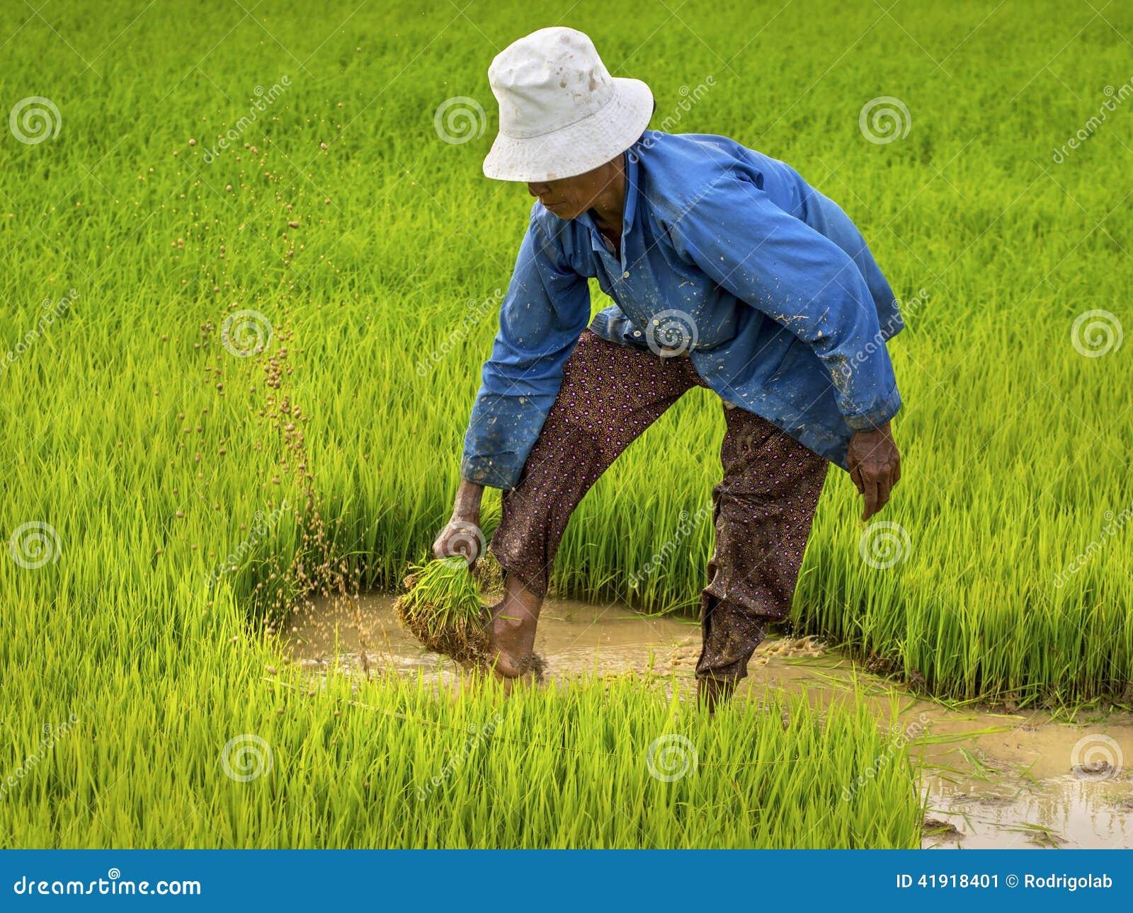 Granjero Working en el campo del arroz, Siem Reap, Camboya
