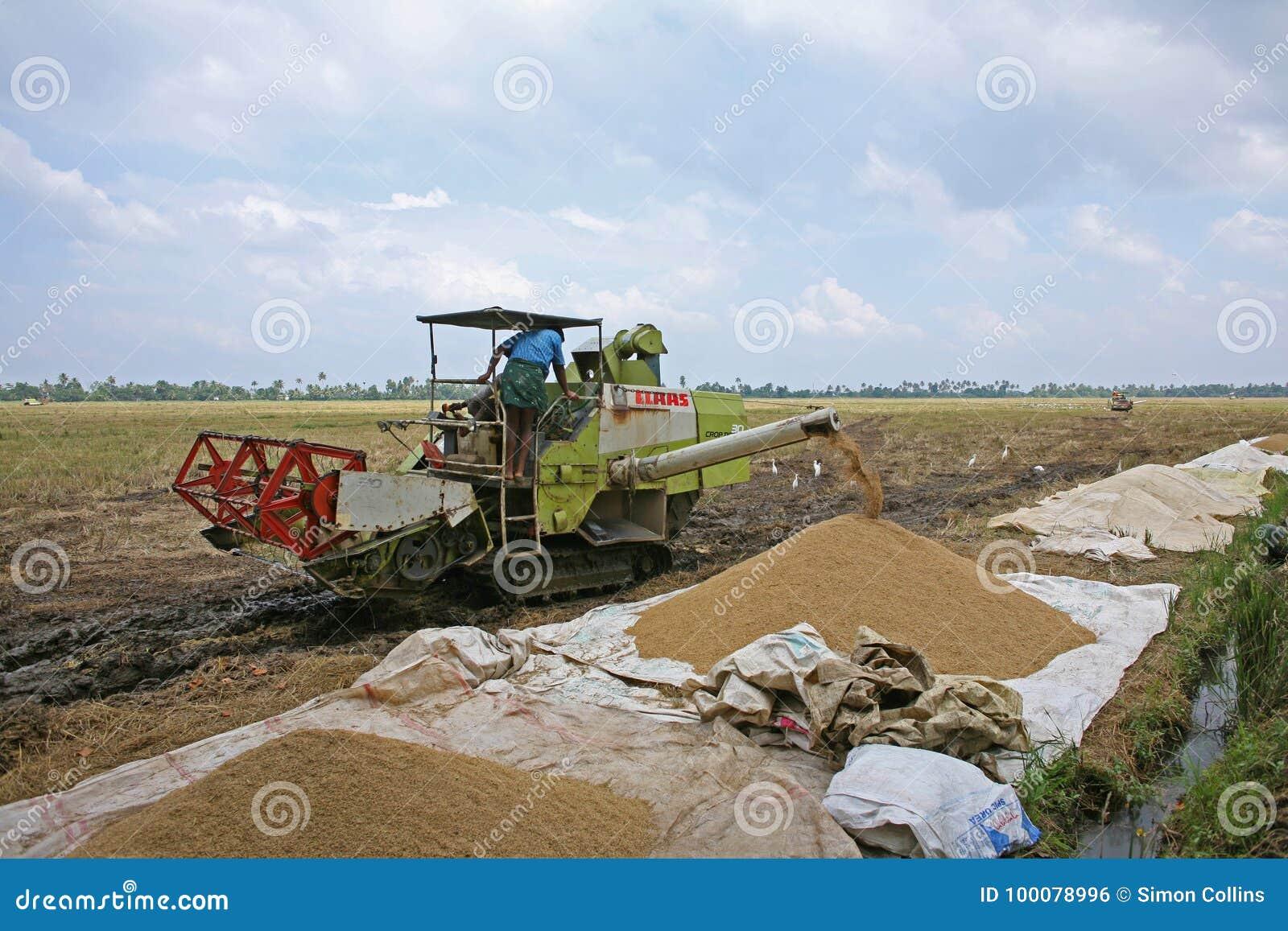 Granjeros que llenan su arroz cosechado, en la India