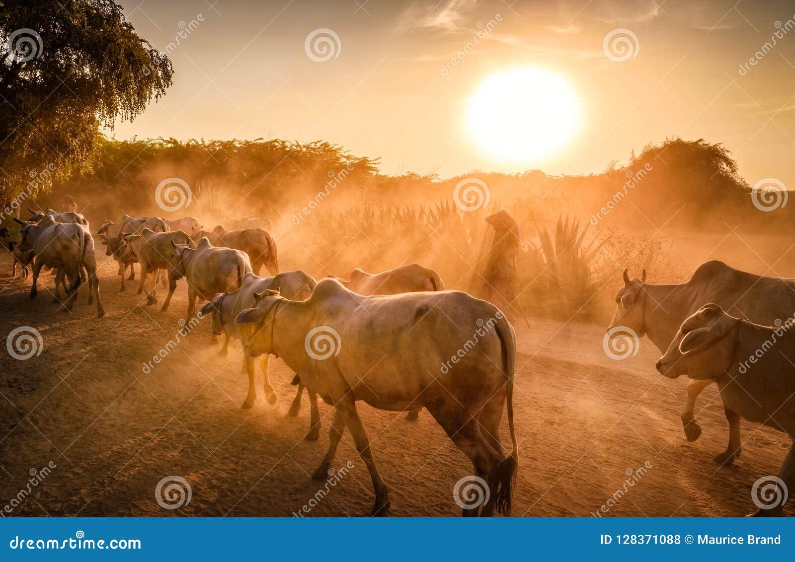 Granjeros y vacas de Bagan Myanmar en la puesta del sol