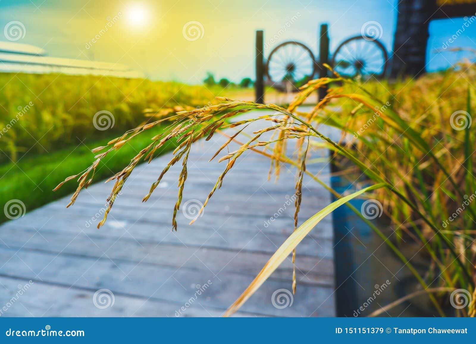 Grano del arroz en campos del arroz del thr