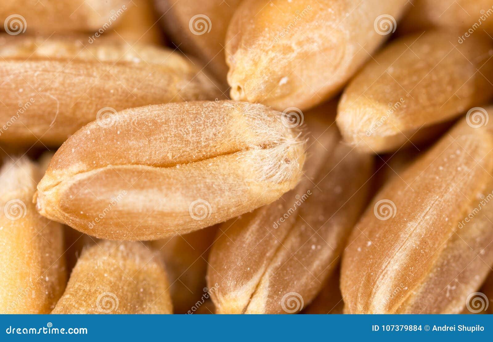 Grano di frumento Macro eccellente