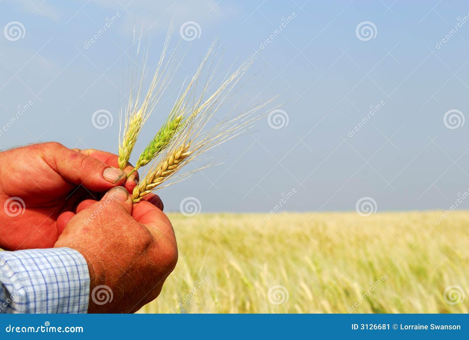 Grano duro della holding del coltivatore