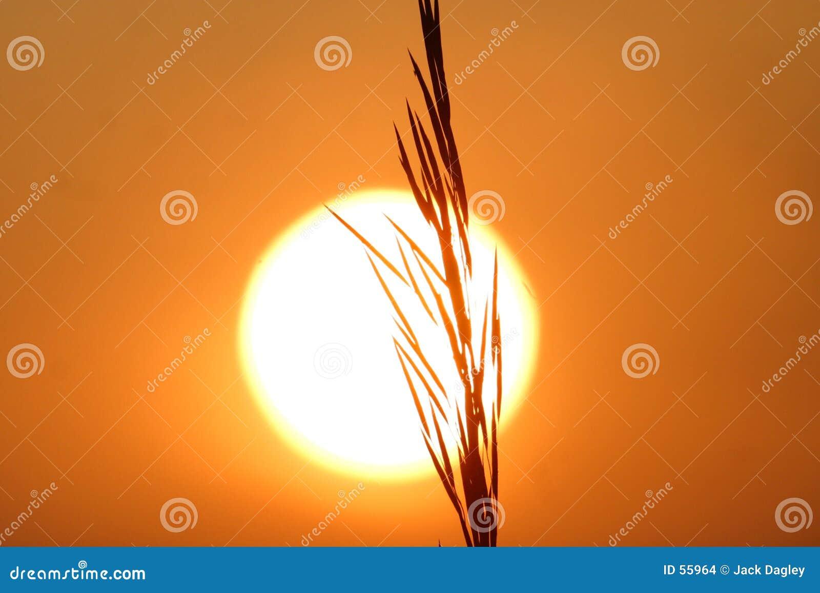 Grano en la puesta del sol